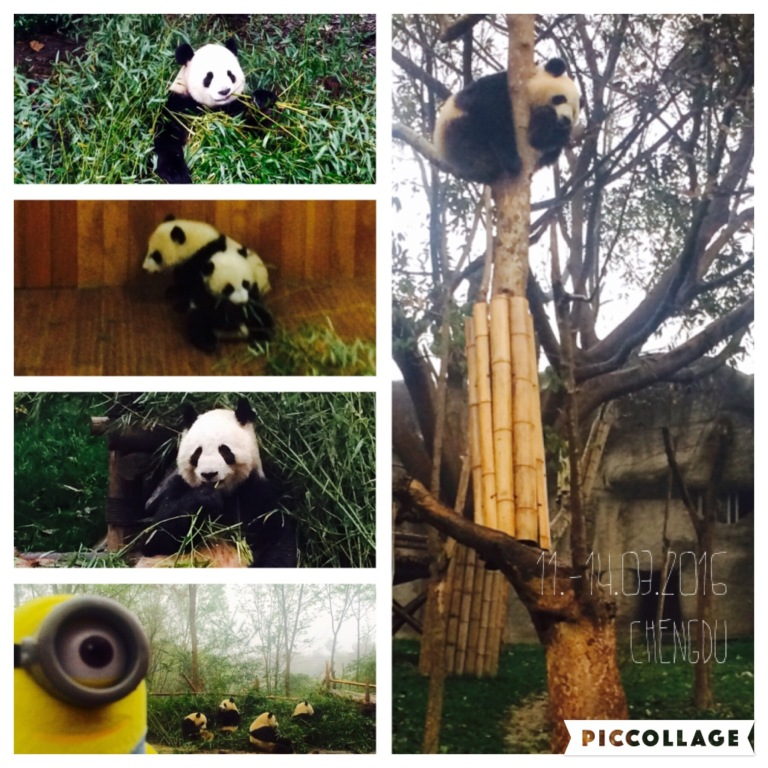 Visiting the pandas - one single panda eats 40 kg bamboo per day!!!